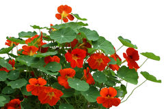Nasturtium flower Plant Royalty Free Stock Photography