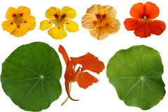 Nasturtium Flower Set Stock Photos
