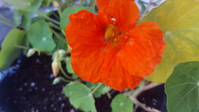 Nasturtium Flower Stock Photography