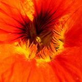 Nasturtium flower Royalty Free Stock Image
