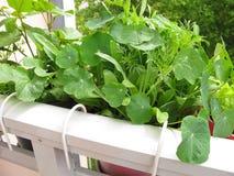 Nasturtium in flowerpots on balcony Royalty Free Stock Photography