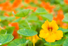 Nasturtium flowers Stock Photography