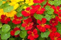 Nasturtium flowers royalty free stock photos
