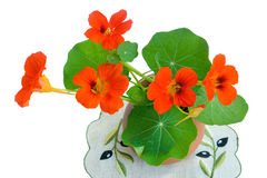 Nasturtium flowers in a ceramic vase on a white background. royalty free stock image