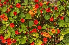 Nasturtium  flowers in Chartwell gardens, Kent Stock Photo