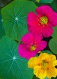 nasturtium. Nasturtium flowers. Nasturtium edible flower Royalty Free Stock Images