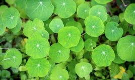 Green nasturtium leaves stock photography
