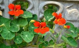 Nasturtium flowers. Macro flora plant stock photography