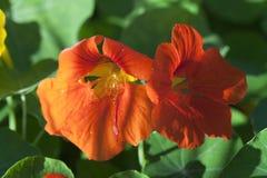 Nasturtium flowers orange Stock Image