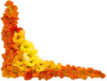 Nasturtium. Flowers nasturtium orange and yellow colors isolated on white background for frame Stock Photos