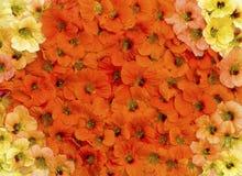 Nasturtium. Flowers nasturtium orange and yellow colors for use in the Wallpaper Stock Image