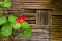 Nasturtium flowers. Red Nasturtium Flowers in front of old fences. ** Note: Shallow depth of field Stock Photo