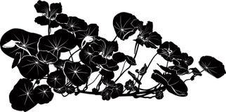 Nasturtium flowers vector. Isolated on white background royalty free illustration