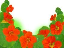 Nasturtium frame Royalty Free Stock Image