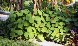 Nasturtium larger bush on the vegetable garden Royalty Free Stock Photography