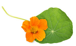 Nasturtium leaf with flower Stock Images