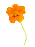 Nasturtium leaf with flower Royalty Free Stock Image