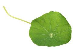 Nasturtium leaf Stock Image