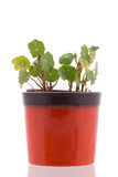 Nasturtium leafs in pot Stock Image