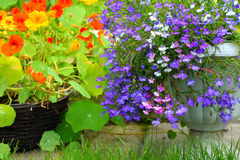 Nasturtium and lobelia blossom Stock Image