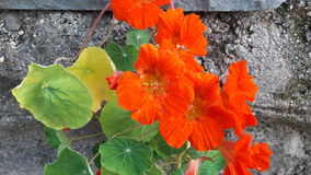 NASTURTIUM. Lovely flowers and well planted Stock Photography