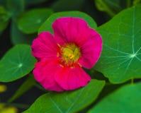 Nasturtium. Nasturtium edible flower. Nasturtium flowers Stock Image