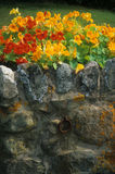 Nasturtium on old stone wall with lichen Royalty Free Stock Photos