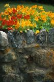 Nasturtium on old stone wall with lichen Stock Image