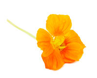 Nasturtium Orange flower Royalty Free Stock Photos