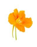 Nasturtium Orange flower Royalty Free Stock Photo