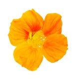 Nasturtium Orange flower Royalty Free Stock Photography