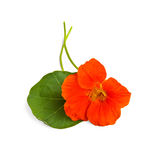 Nasturtium orange with leaves Royalty Free Stock Image