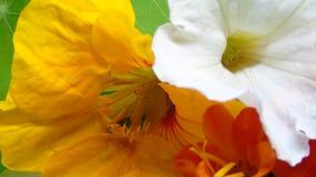 Nasturtium Petunia flowers. Bright orange yellow white red petunias nasturtium flowers Stock Photo