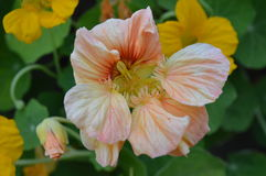 Nasturtium pink flowering in autumn Stock Photo