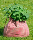 Nasturtium Plant in the Bag on Green Grass Stock Photo