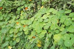 Nasturtium Plant Royalty Free Stock Photo