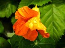Nasturtium in the rain Stock Photo