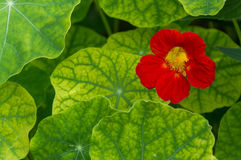 Nasturtium stock photos