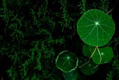 Nasturtium round shape leaves growing on pine tree royalty free stock images