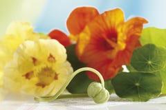 Nasturtium  (Tropaeolum) flowers and leaves Stock Image