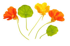 Nasturtium (Tropaeolum majus). Flowering nasturtium (Tropaeolum majus) against a white background Stock Photos