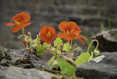 Nasturtium (Tropaeolum majus) on rocks royalty free stock image