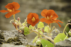 Nasturtium (Tropaeolum majus)  on rocks Stock Photos