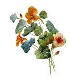 Nasturtium watercolor Stock Photo