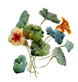 Nasturtium watercolor Royalty Free Stock Photos