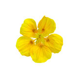 Nasturtium yellow one Royalty Free Stock Photography