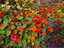 Nasturtiums. Royalty Free Stock Photography