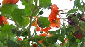 nasturtiums Royaltyfri Foto
