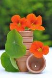 Nasturtiums amont terracatta pot Royalty Free Stock Photo