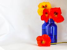 Nasturtiums in a blue bottle against a white backdrop stock photo
